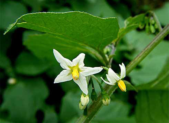 Health Benefits of Solanum Nigrum Extract