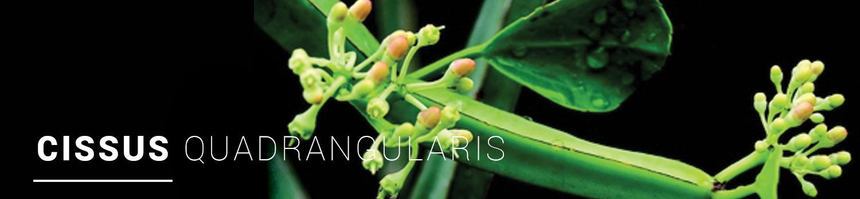 Cissus-Quadrangularis