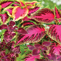 Coleus Forskohlin Extracts